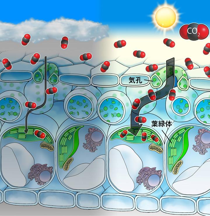世界初、変動する光に対する植物葉内のCO2輸送の挙動を捉えた!